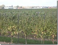 vignoble-quebecois-route-des-vins-vendanges-vin-du-quebec