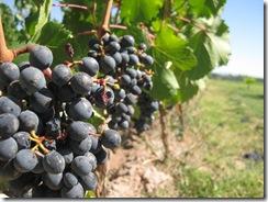 vignobles-route-des-vins-du-quebec-vin-quebecois