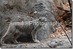 photographie chat sauvage photos lynx photo photographies oiseaux plein air nature