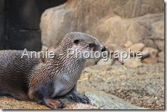 photographie loutre photos loutres photo photographies oiseaux plein air nature