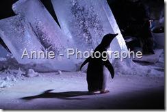 photographie pingouins photos pingouin photo photographies oiseaux plein air nature