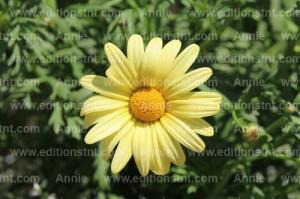 photographie-nature-plantes-fleurs-marguerite-jaune-jardin-botanique-montreal