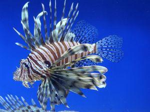 Pterois_volitans_lionfish-aquarium-eau-mer-salee-rascasse-volant