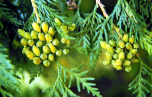 thuja_occidentalis remèdes autochtones